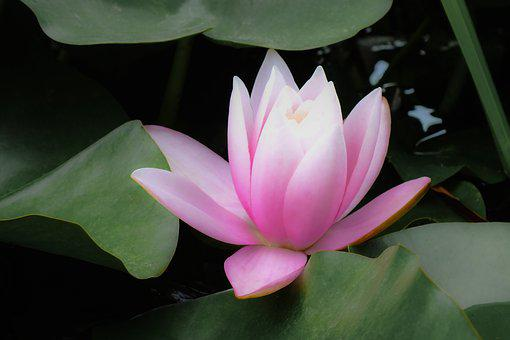 Water Lily, Pink, Flower, Blossom, Petals, Leaves