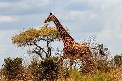 Giraffe, Africa, Kenya, Safari, Animal World, Nature