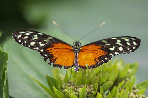 Butterfly, Wings, Orange, Insect, Animal, Nature, Wing