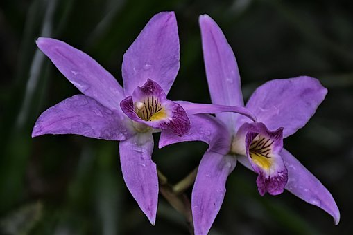Orchid, Flower Exotic, Purple, Blossom, Bloom, Nature