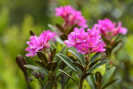Alpine Rose, Rhododendron, Blossom, Bloom, Pink
