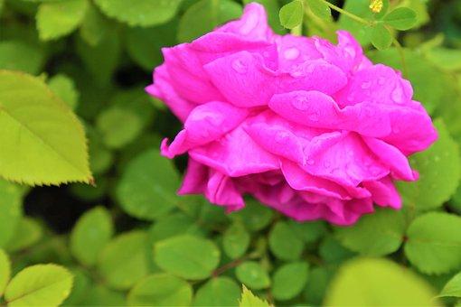 Rose, Pink, Nature, Flower, Love, Romantic, Plant