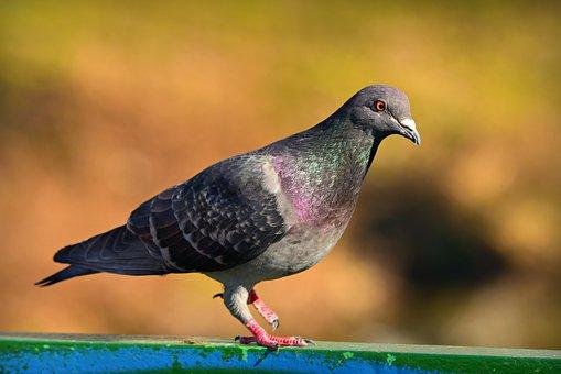 Rock Dove, Pigeon, Bird, Urban, Gray, Plumage, Feather