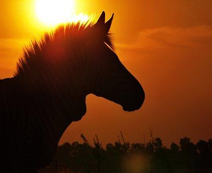 Zebra, Hartmann's, Sunset, Evening Light, Portrait