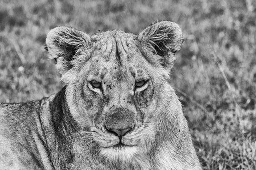 Lion, Predator, Africa, Safari, Big Cat, Mane