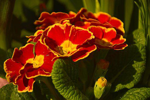 Primroses, Primula, Primulaceae, Early Bloomer, Flowers