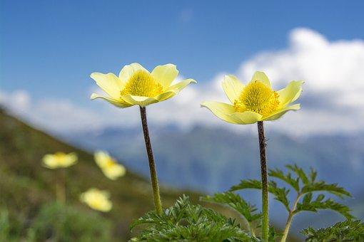 Sulphur Anemone, Pulsatilla, Blossom, Bloom, Spring