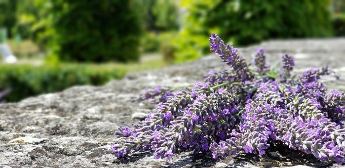 Lavender, France, Burgundy, Purple, Nature, Plant