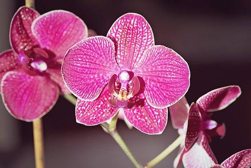 Orchid, Pink, Flower, Plant, Houseplant, Purple