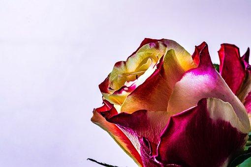 Rose, Flower, Orange, Tea, Dwubarwna, Red