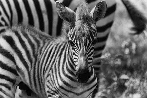 Zebra, Africa, Safari, Wild Animal, Savannah