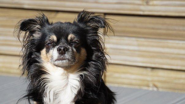 Chihuahua, Long Hair Chihuahua, Dog, Small, Cute, Sweet