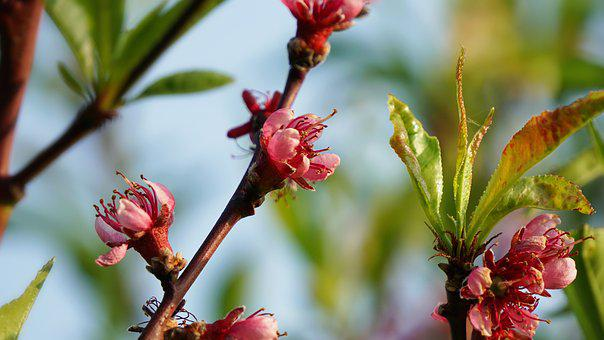 Blossom, Bloom, Pink, Tree, Nature, Spring, Bud, Garden