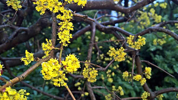 Flowers, Tree, Spring, Branches, Umbels, Yellow Flowers