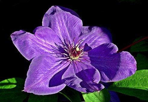 Clematis, Creeper, Flower, Blue, Garden, Nature, Spring