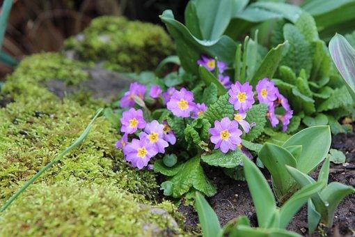 Primrose, Flowering, Foam, Flowers, Spring