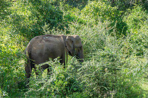 Sri Lankan Elephant, Elephant, Wildlife, Endangered