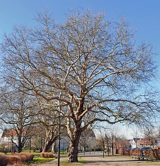 Old Plane Tree, February, Castle Park, Steinfurt