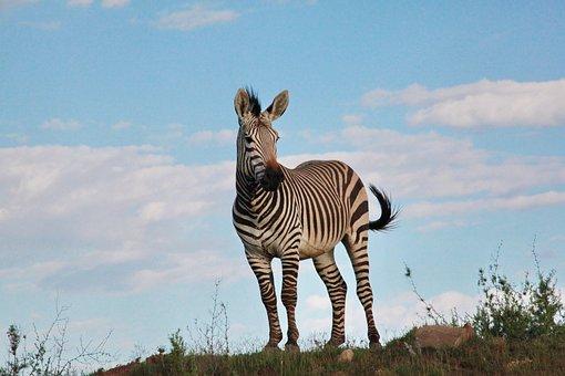 Zebra, Males, Stallion, Horse, Stripes, Africa