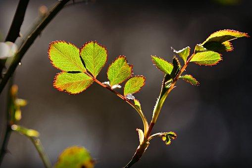 Rose Leaf, Twig, Rose Bush, Vein, Pattern, Thorn