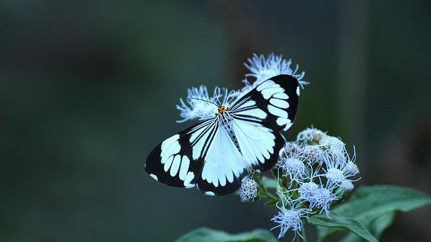 White Tiger Moth, Moth, Insect, Butterfly, White