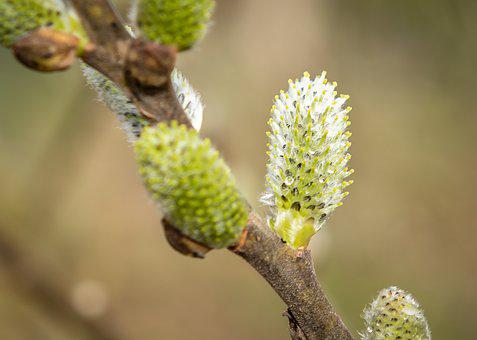 Willow Catkin, Bud, Spring, Nature, Close Up