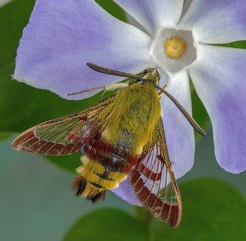 Moth, Broad-bordered-bee-hawk-moth, Wings, Antenna