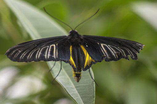 Butterfly, Black, Insect, Animal, Wings, Nature