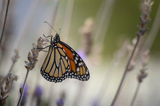 Butterfly, Monarch, Wings, Natur, Insect, Colorful