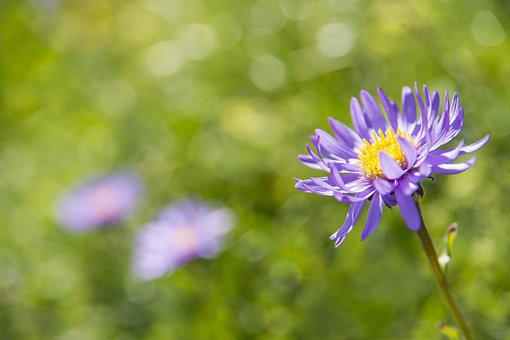 Alpine Aster, Blossom, Bloom, Violet, Alpine Flower