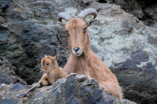 Ibex, Alpine, Mother, Cub, Nature, Rock, Corners