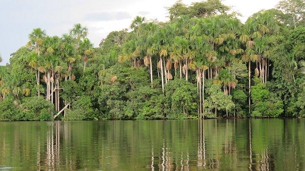 Jungle, Palms, Aguaje, Amazon, Palm Tree, Plant, Green