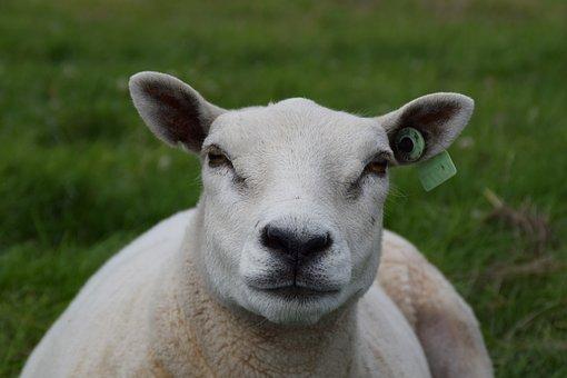 White, Sheep, Wool, Animal, Mammal, Cattle, Meadow