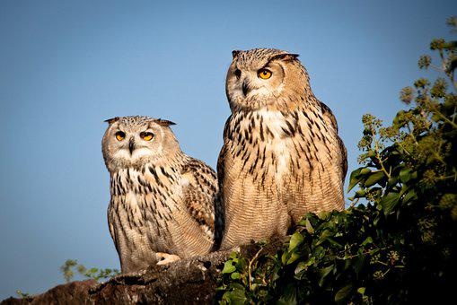 Eagle Owl, Bird, Bill, Raptor, Plumage, Animal World