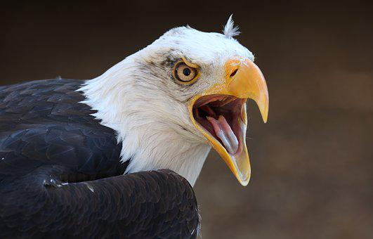 Bird, Bald Eagle, Eagle, Bird Of Prey, Feathers, Raptor
