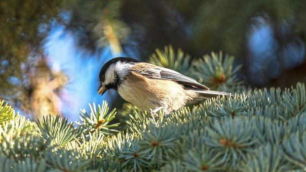Black Cap Chickadee, Birds, Sparrow, Chickadee