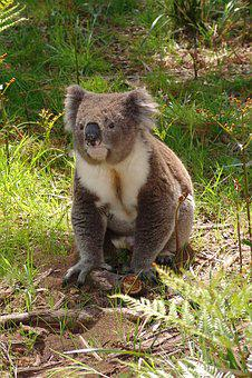 Koala, Australia, Animal, Cute, Nature, Marsupial, Wild