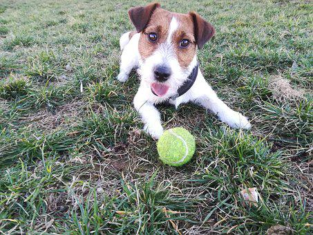 Dog, Jack Russell, Jack, Terrier, Small, Adorable