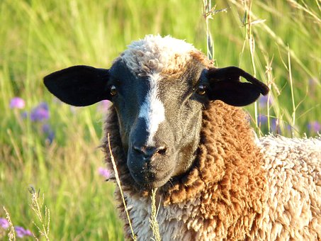 Sheep, Ear, Hole In The Ear, Animal, Mammal, Wool, Ears