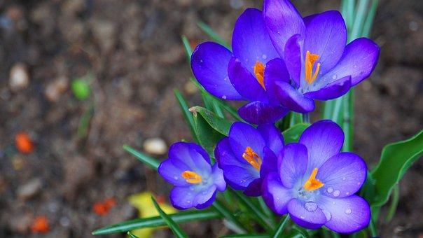 Crocus, Flowers, Spring, Bloom, Nature, Flower, Purple