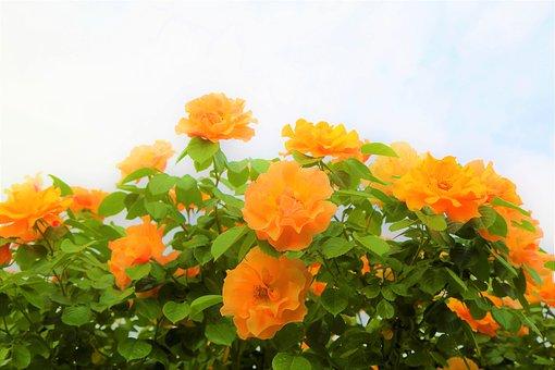 Rose, Nature, Flower, Plant, Love, Romantic, Blooming