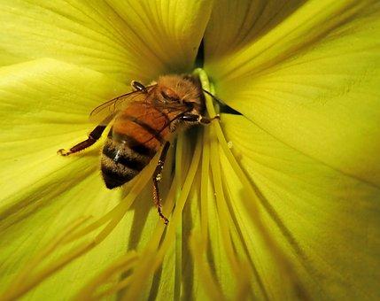 Bee, Insect, Flower, Pollen, Evening Primrose, Garden