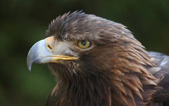 Golden, Bird, Eagle, Raptor, Feather, Plumage, Hunter