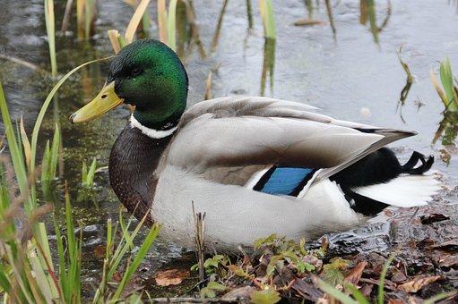 Waterfowl, Duck, Drake, Water, Plumage, Green, Metallic