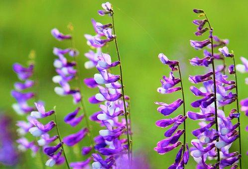 Flower, Clover, Nature, Plant, Spring, Green, Purple