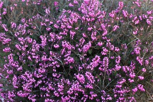 Heide, Flower, Plant, Bloom, Blossom, Bloom, Heather