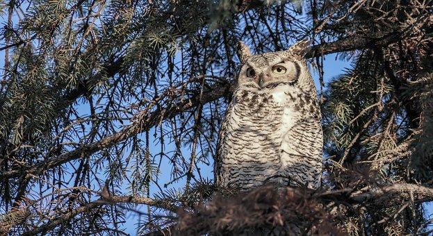 Great Horned Owl Female, Owl, Horned Owl, Raptor