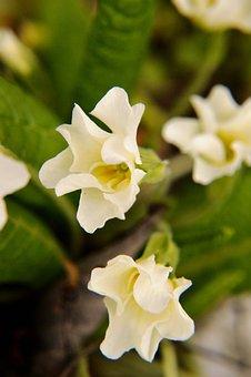 Primrose, Flower, Spring, Plants, Nature, Garden, Leaf