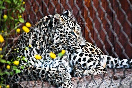 Leopard, Predator, Cat, Animal World, Animal, Wild