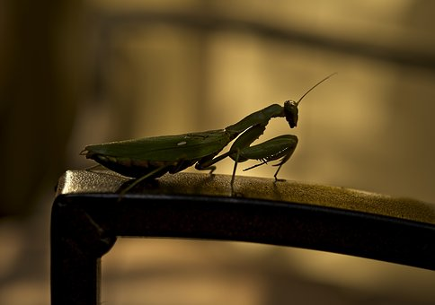 Mantis, Insect, Silhouette, Nature